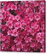 Pink Full Frame Azalea Blossoms Acrylic Print