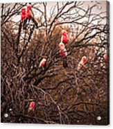 Pink Galahs Acrylic Print