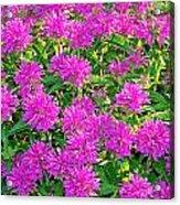 Pink Garden Flowers Acrylic Print