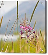 Pink Gem - Fire Weed Wildflower In Grand Teton National Park - Wyoming Acrylic Print