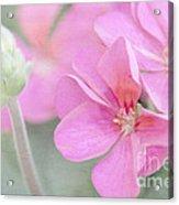 Pink Geraniums Acrylic Print