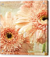Pink Gerber Daisies 3 Acrylic Print