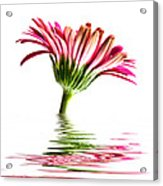Pink Gerbera Flood 2 Acrylic Print