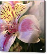 Pink Glow Lily  Acrylic Print
