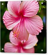 Pink Hibiscus Flowers Acrylic Print