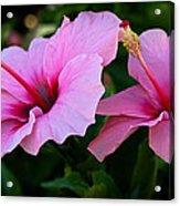 Pink Hibiscus II Acrylic Print