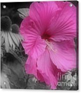 Pink Hibiscus In Partial Color Acrylic Print