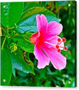 Pink Hibiscus Near Celadon Factory In Chiang Mai-thailand Acrylic Print
