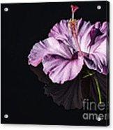 Pink Hibiscus On Black Water Acrylic Print