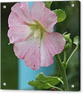 Pink Hollyhock And Rain Acrylic Print