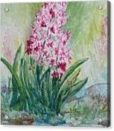 Pink Hyacint Acrylic Print