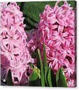 Pink Hyacinth Acrylic Print