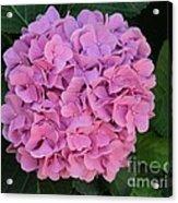 Pink Hydrangea All Profits Benefit Hospice Of The Calumet Area Acrylic Print