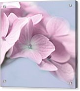 Pink Hydrangea Flower Macro Acrylic Print