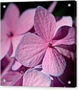 Pink Hydrangea Acrylic Print by Rona Black