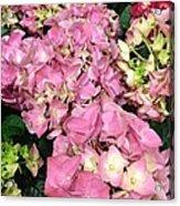 Pink Hydrangeas Acrylic Print