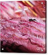 Pink Ice Protea Macro With Ant Acrylic Print