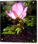 Pink Illumination Acrylic Print
