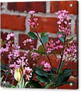 Pink Indian Hawthorne Acrylic Print
