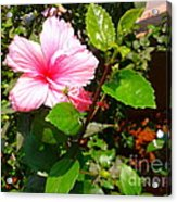Pink Java Flower  Acrylic Print