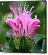 Pink July Acrylic Print