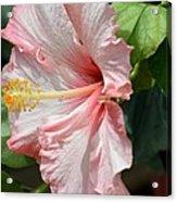 Pink Lady 2013 Acrylic Print