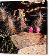 Pink Lady Cactus Acrylic Print