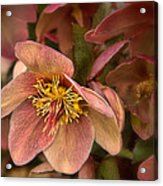 Pink Lenten Rose Acrylic Print