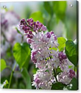 Pink Lilacs And Green Leaves - Featured 3 Acrylic Print