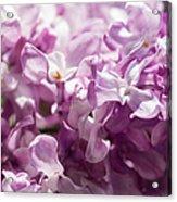 Pink Lilacs Closeup - Featured 3 Acrylic Print
