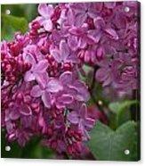 Pink Lilacs Acrylic Print