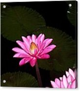 Pink Lilies And Pads Acrylic Print