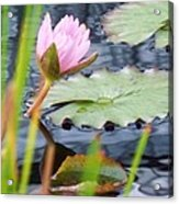Pink Lily And Pads Acrylic Print