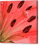 Pink Lily Macro Acrylic Print by Adam Romanowicz