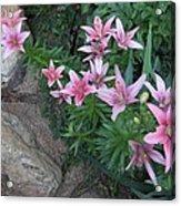 Pink Lilys Acrylic Print