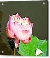 Pink Lotus And Leaf In A Pond Acrylic Print