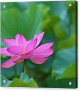 Pink Lotus Blossom Acrylic Print