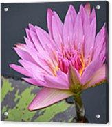 Pink Lotus Acrylic Print