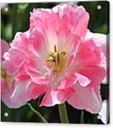 Pink Love Tulip Acrylic Print