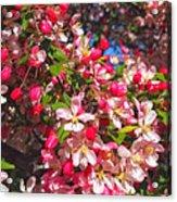 Pink Magnolia 2 Acrylic Print