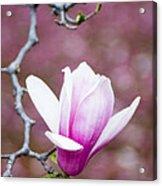 Pink Magnolia Flower Acrylic Print by Oscar Gutierrez