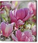 Pink Magnoloias In Bloom Acrylic Print