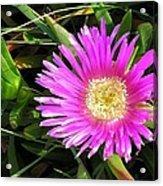 Pink Mesembryanthemum  Acrylic Print
