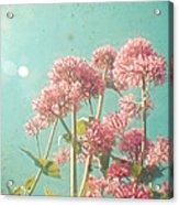 Pink Milkweed Acrylic Print