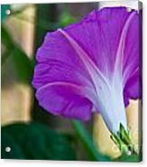 Pink Morning Glory Acrylic Print