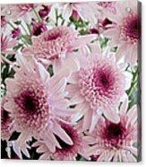Pink Mums Acrylic Print
