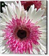 Pink N White Gerber Daisy Acrylic Print