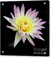 Pink N Yellow Water Lily Too Acrylic Print