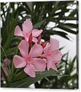 Pink Oleander 4 Acrylic Print