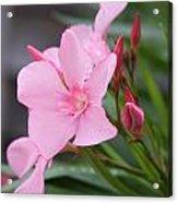 Pink Oleander 5 Acrylic Print